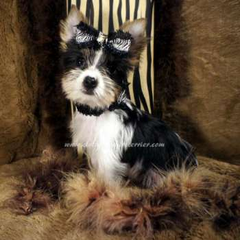 Male AKC Teacup Parti Yorkie For Sale - Elvis