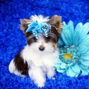 Teacup Parti Yorkie For Sale