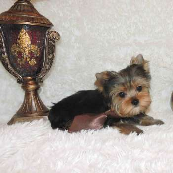 Miniature Yorkie Puppy Dog
