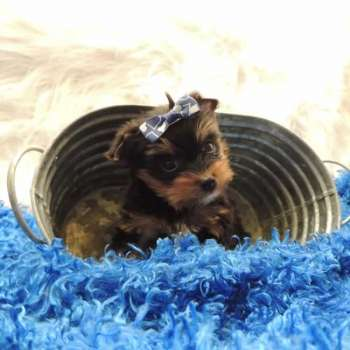 Teacup Yorkie Pup For Sale