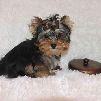 Male Yorkshire Terrier Pup
