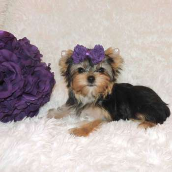 Teacup Yorkie Puppy - Nala 08-06-2018