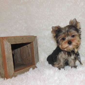 Blue and Gold Yorkie Puppy