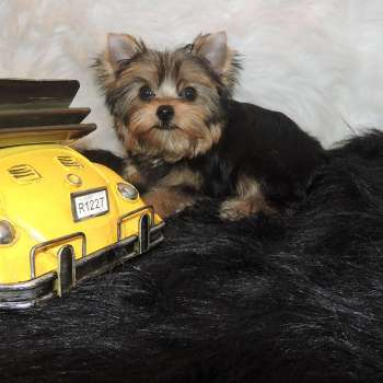 Teacup Male Yorkshire Terrier For Sale