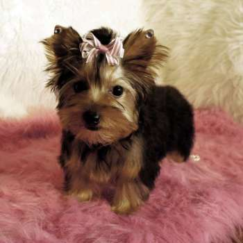 Small Yorkshire Terriers For Sale - Nichole - AKC Small Yorkshire Terrier Puppy