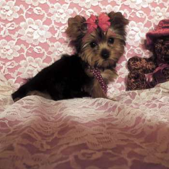 Teacup Yorkshire Terrier Puppies For Sale - Marlie- AKC Female Teacup Yorkshire Terrier Puppy