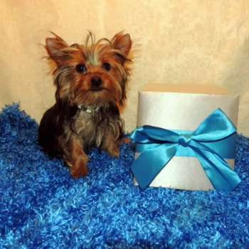 Miniature Yorkie Pup For Sale