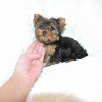 Tiny Yorkshire Terrier Online