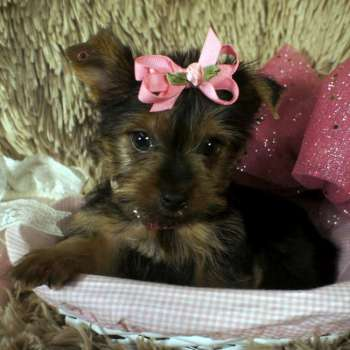 Tiny Teacup Puppy For Sale - Claire