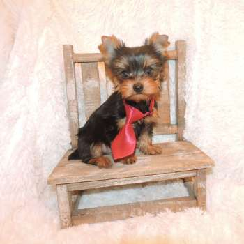 Toy Yorkshire Terrier Pup