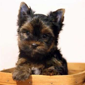 Toy Yorkshire Terrier For Sale