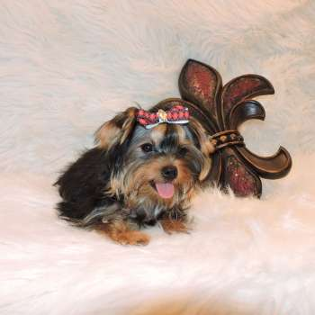 Toy Yorkshire Terrier