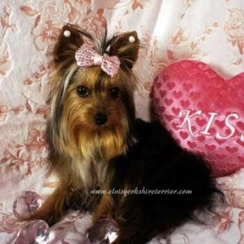 Tiny Yorkshire Terrier For Sale