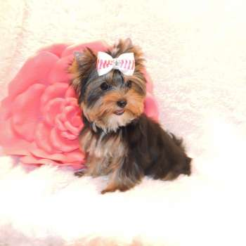 Lovable Toy Yorkie Riley