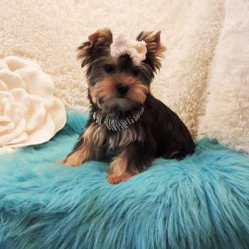Adorable Standard Yorkie