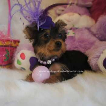 Toy Yorkie For Sale