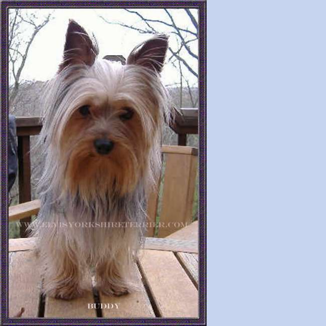 Buddy - Male Yorkshire Terrier Stud