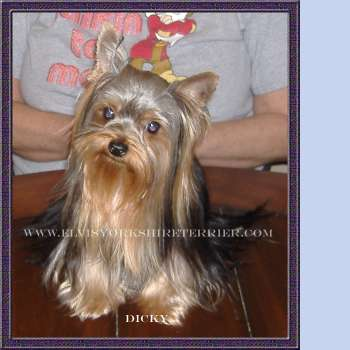 Dicky - Teacup Yorkshire Terrier Sire