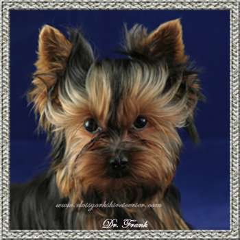 Male Teacup Yorkie