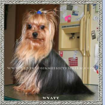 Wyatt - Male Teacup Yorkshire Terrier