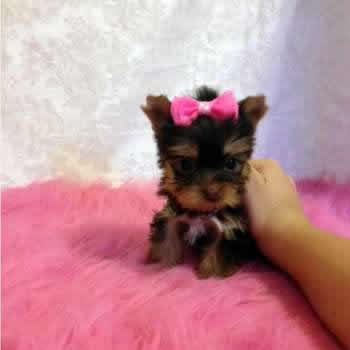 Teacup Yorkies Do They Exist