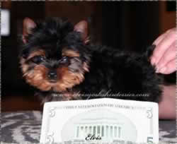 Teacup Yorkie That Is Representative of our teacup yorkie puppies for sale.