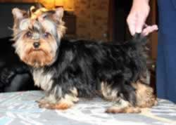 Toy Yorkie That Is Representative of our toy Yorkshire Terrier puppies for sale.