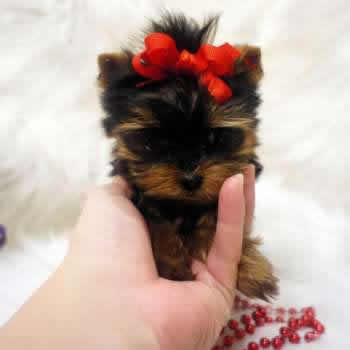 Why teacup yorkie dogs are small elvis yorkshire terrier for Tiny puppies that stay tiny for sale