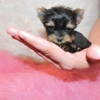Buy Teacup Yorkie Puppies From Elvis Yorkshire Terrier