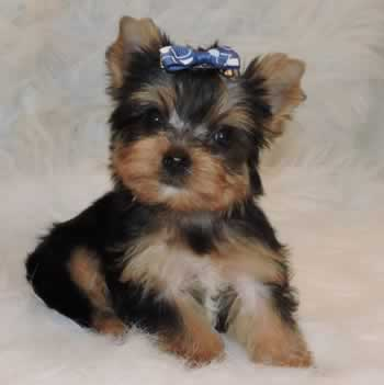 Yorkie Puppies Sale Teacup Yorkies Parti Chocolate Golden